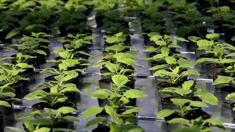 A unique strain of tobacco plant grows at Medicago USA, Inc. in Research Triangle Park, N.C. on Thursday, Aug. 14, 2014. (AP Photo/ Gerry Broome)