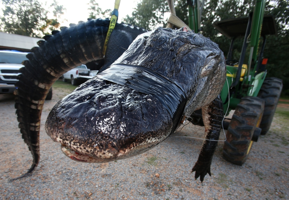 A large alligator weighing 1011.5 pounds measuring 15-feet long is pictured in Thomaston, Ala. on Aug 16, 2014.  (Sharon Steinmann / Al.com)