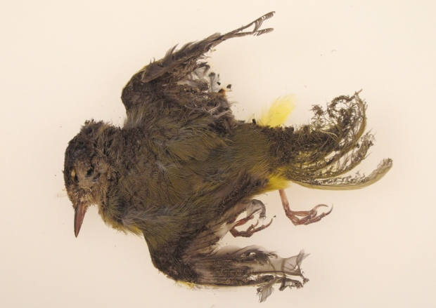 A burned bird at a Calif. solar plant