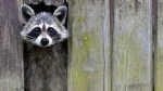 In this picture taken Sunday, May 11, 2014 a raccoon comes out from a hole in a barn in Sieversdorf, eastern Germany. (AP Photo/dpa, Patrick Pleul)