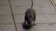 Rat pounces at man filming in subway