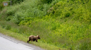 A young grizzly bear crosses the road in Kitimat, B.C. Tuesday, June, 17, 2014. (Jonathan Hayward / THE CANADIAN PRESS)
