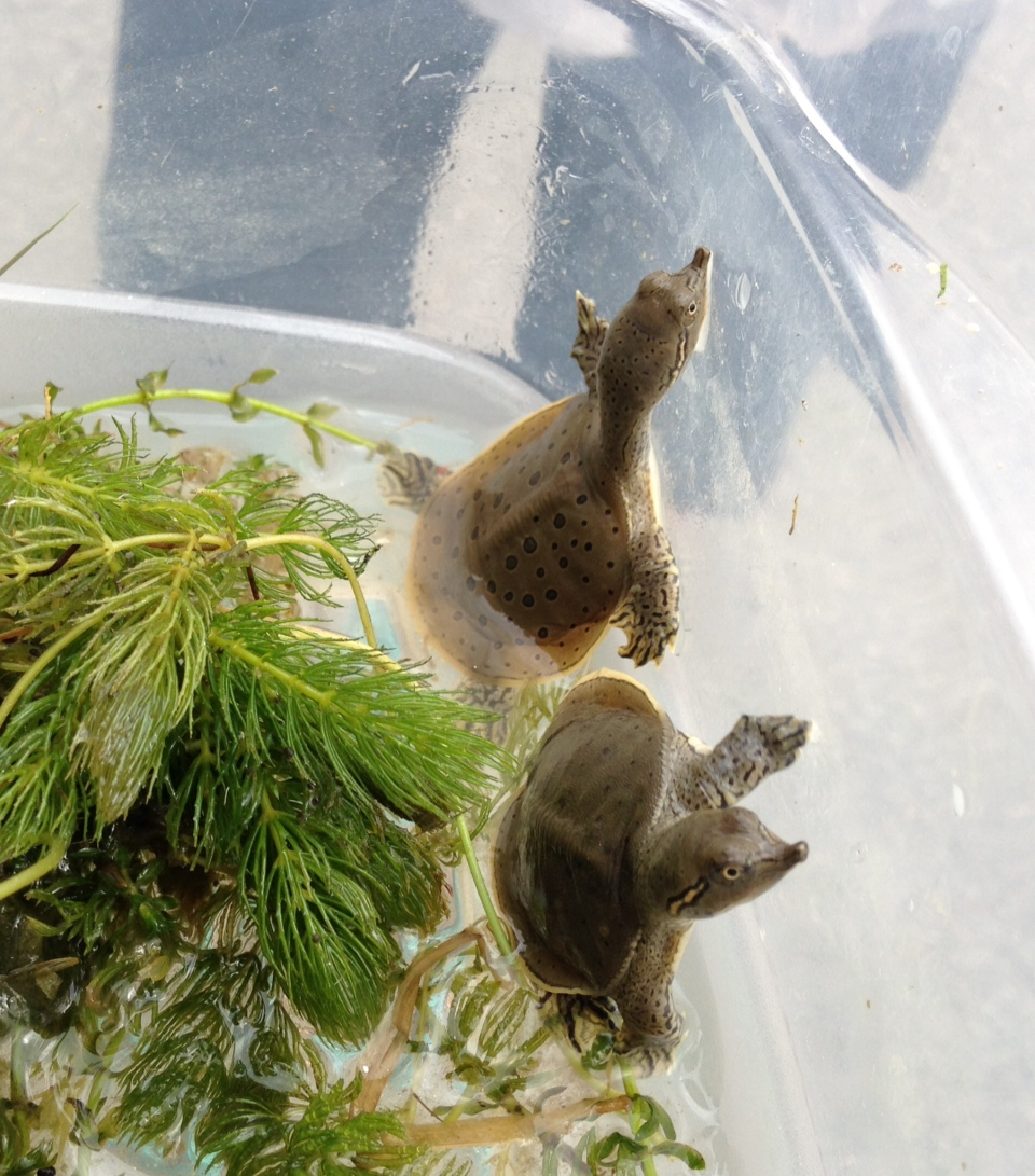 Newly hatched spiny softshell turtles are seen in the London, Ont. area on Wednesday, Aug. 20, 2014. (Chuck Dickson / CTV London)