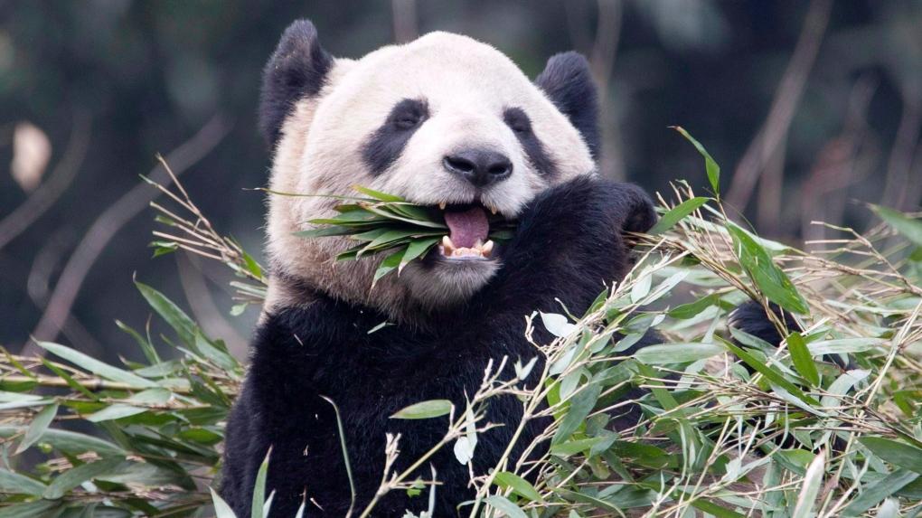 Er Shun giant panda