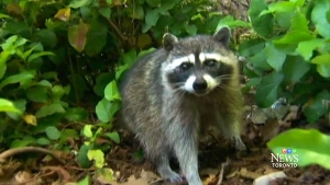 Consumer Alert: Keeping raccoons away