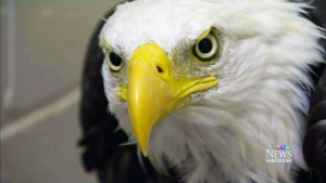 CTV Vancouver:Eagle that swallowed skewer released