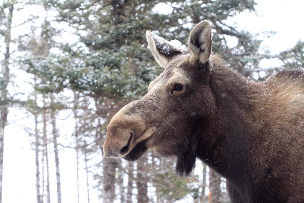 Moose mating program in Nova Scotia-New Brunswick