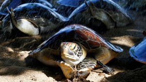 Sea turtles are pictured on a beach in Bali, Indonesia, Wednesday, May 14, 2014. (AP file photo)