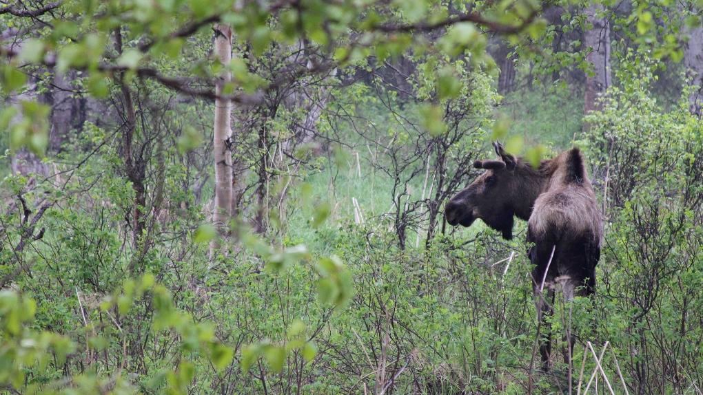 N.B. Liberals promise more moose hunting licences