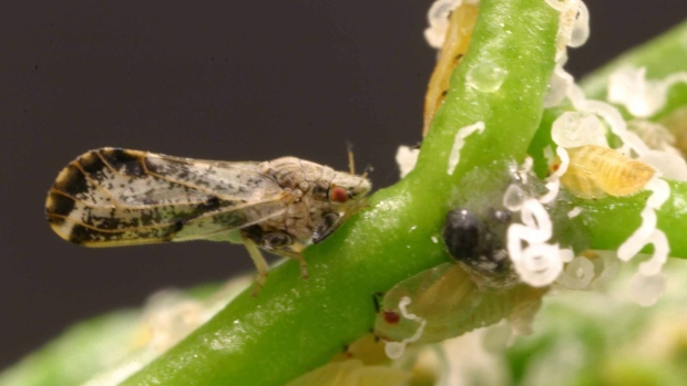 Asian citrus psyllid invading Florida groves