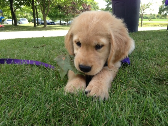 A National Service Dog puppy plays in the grass Sunday August 24, 2014. (Alexandra Pinto / CTV Kitchener)
