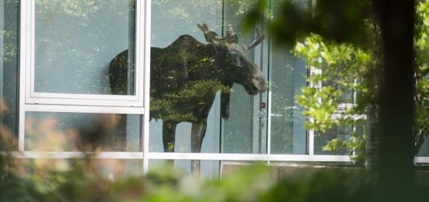 Moose in Dresden