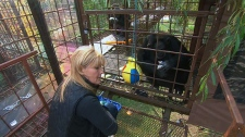 Flora Foundation Founder Gloria Grow is shown with two chimpanzees at a sanctuary in Montreal. Fauna was the first sanctuary in the world to rescue HIV-positive chimpanzees.