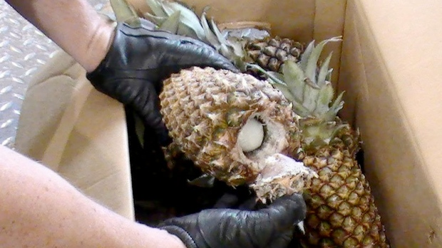 A CBSA agent shows an opened pineapple with cocaine inside, during a seizure made at the Port of Saint John, N.B., on Aug. 25, 2011. (Canada Border Services Agency)