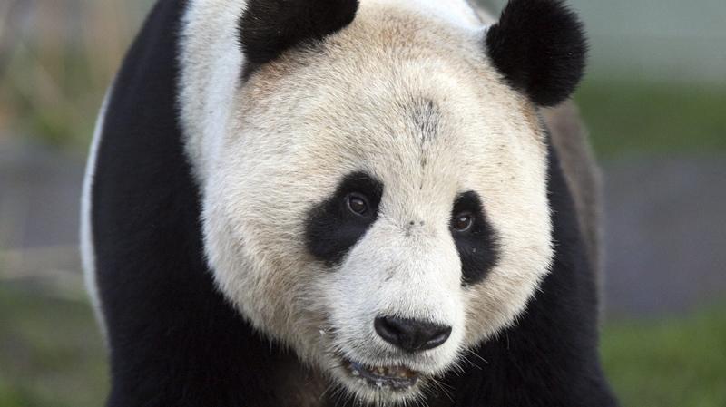 Giant panda named Yang Guang explores his enclosure at Edinburgh Zoo in Edinburgh, Scotland, in this file photo dated Monday, Dec. 12, 2011.