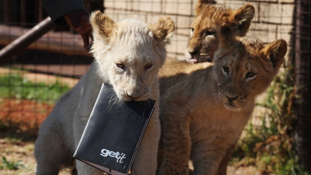Lion cubs debut at Johannesburg Zoo