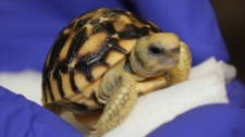 Rare tortoise hatches at Toronto Zoo