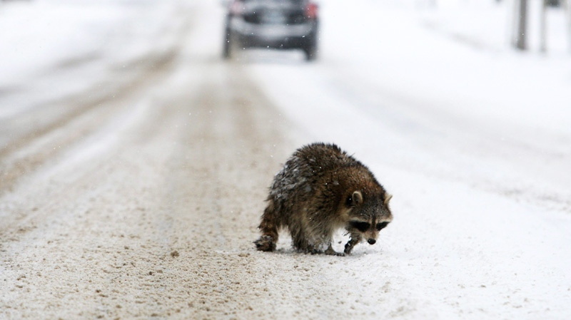 A wet raccoon wanders in the middle of a rural road during a snow fall, near Tillsonburg, Ont., Friday, Jan. 13, 2012. (Dave Chidley / THE CANADIAN PRESS)