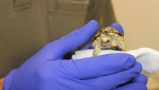 Rare tortoise hatches in Toronto