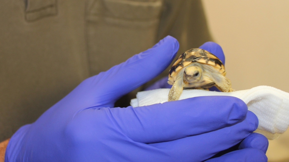 A Toronto Zoo employee holds a newly hatched Burmese star tortoise in Toronto. (Toronto Zoo)