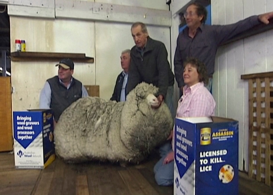 Shaun the shaggy Australian sheep is seen with farmers before being shorn in Midlands, Australia, Thursday, Aug. 28, 2014. (AuBC via AP Video)