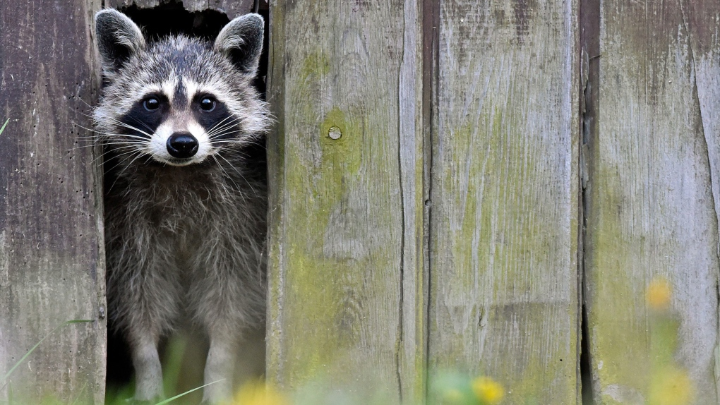 52 per cent of Torontonians support raccoon cull