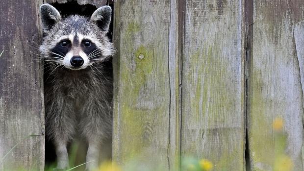 52 per cent of Torontonians support raccoon cull