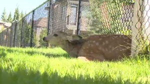 Fawn stuck in fence