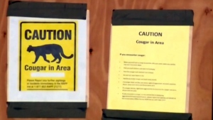 2 cougars euthanized as sightings rise