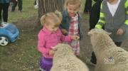 CTV Edmonton: Fort Sask leads annual sheep parade