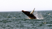 A whale puts on a show for tourists near Brier Island, N.S.