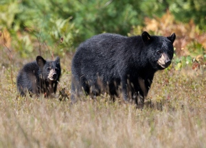 A family of Black Bears enjoying the bountiful blueberries this summer in Algonquin Park.  (Wilson Hum/CTV Viewer)