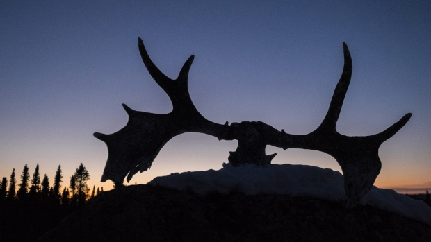 April 17, 2014 photo of dried moose antlers. (John Lehmann / The Globe and Mail)