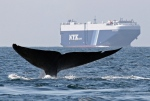 In this Aug. 14, 2008 file photo provided by Cascadia Research, a blue whale is shown near a cargo ship in the Santa Barbara Channel off the California coast. (AP /Cascadia Research, John Calambokidis)