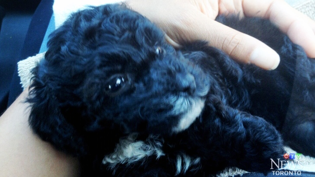 Puppy sold on Kijiji dies six days after purchase | CTV News