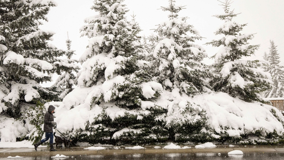 A woman walks her dog past snow laden trees as snow continues to fall in Cremona, Alta., Tuesday, Sept. 9, 2014. (Jeff McIntosh / THE CANADIAN PRESS)