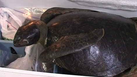 A fourth green sea turtle washed up dead on Tofino shores but biologists still do not know what it causing their unusual migration. Feb. 9, 2012. (CTV)