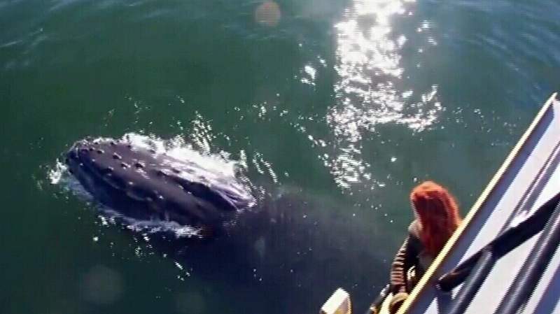 A woman watches a humpback whale on a whale watching trip in north Chatham Sound Sat., Sept. 13, 2014. (YouTube)