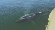 CTV Vancouver: Whales hang out with tourists