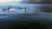 MyNews: Orca pod swims under boat