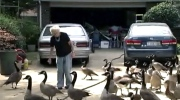 CTV News Channel: Influx of Canada geese