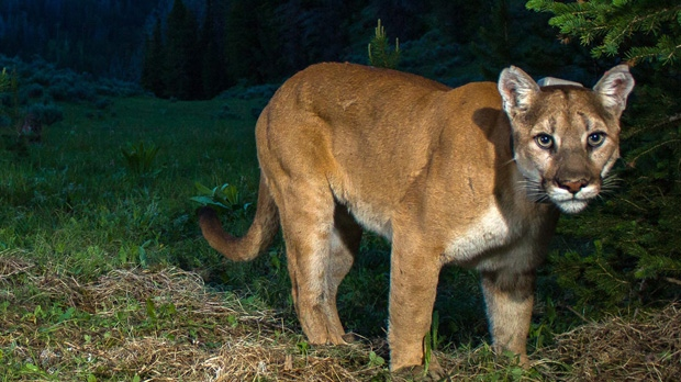 Hiker stalked by cougar says Metallica song helped her escape