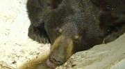 Calgary black bear