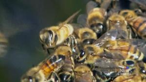 CTV Winnipeg: RCMP investigate bee poisonings