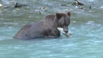 Grizzlies in Bute Inlet