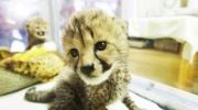 Playful cheetah cubs at San Diego zoo