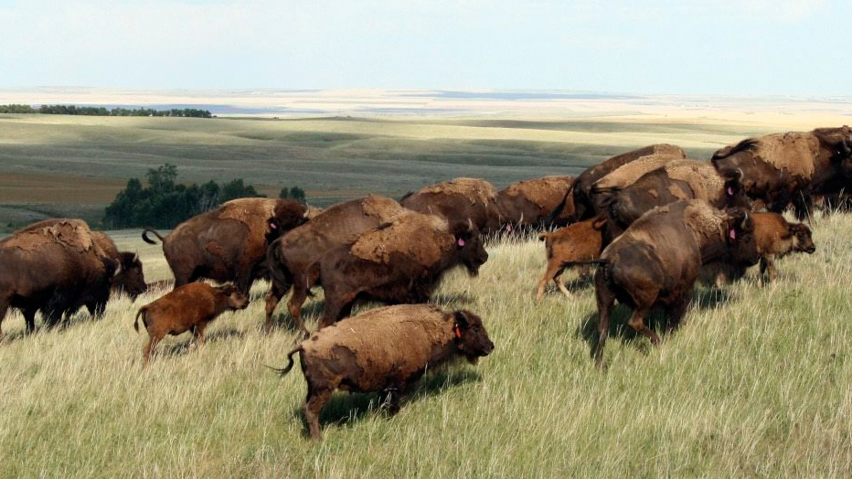Treaty signed to restore bison to the Great Plains