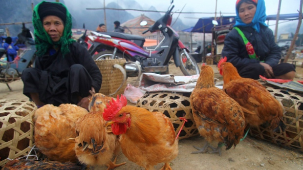 asia bird flu, bird flu, vietnam bird flu