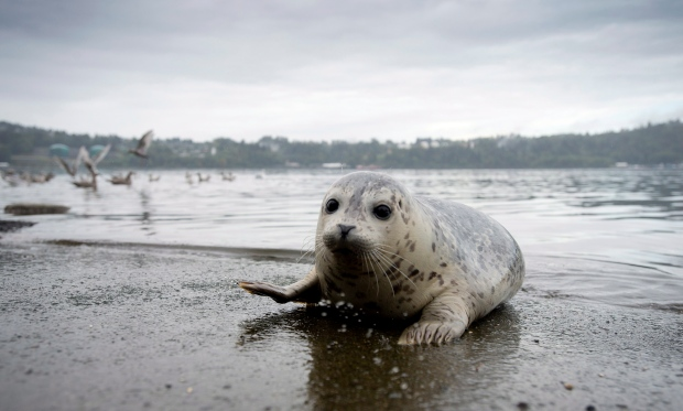 A seal pup sits on the boat launch before heading back into the water after being released by the Vancouver Aquarium into Burrard Inlet in North Vancouver, Wednesday, Sept. 24, 2014. (Jonathan Hayward / THE CANADIAN PRESS)