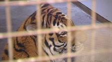 Baikal tiger